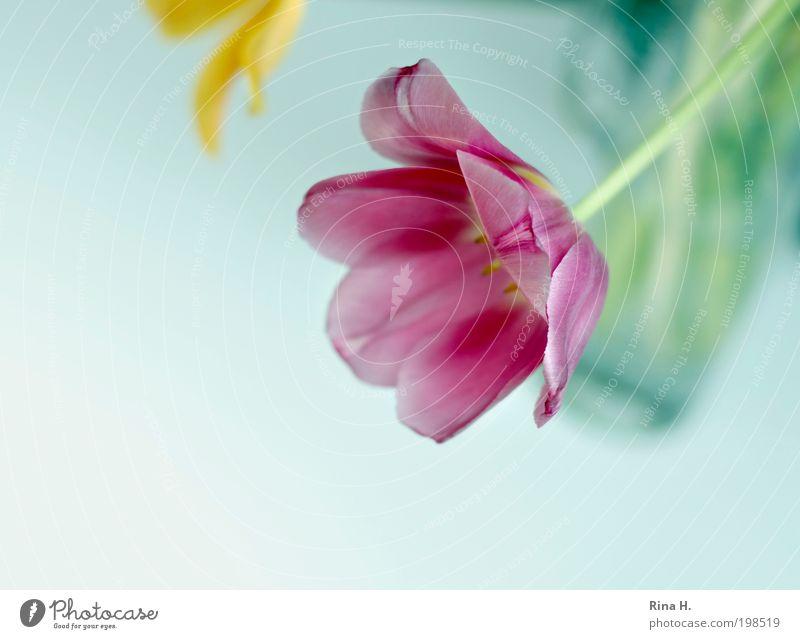 Frühling II elegant Stil Pflanze Blume Tulpe Dekoration & Verzierung Blumenstrauß Blühend hängen verblüht ästhetisch hell gelb grün rosa Fröhlichkeit
