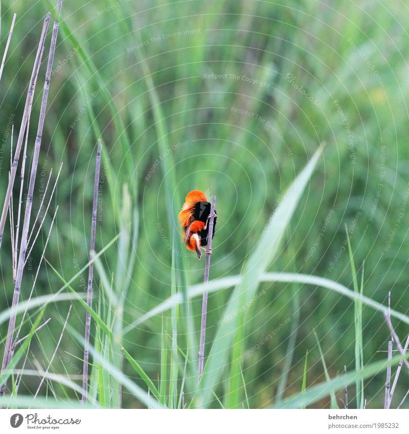 kleiner hingucker Ferien & Urlaub & Reisen Tourismus Ausflug Abenteuer Ferne Freiheit Safari Natur Pflanze Tier Blatt Schilfrohr Südafrika Wildtier Vogel Flügel