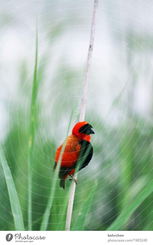 der frühe vogel... Ferien & Urlaub & Reisen Tourismus Ausflug Abenteuer Ferne Freiheit Safari Natur Pflanze Tier Schilfrohr Südafrika Wildtier Vogel Tiergesicht
