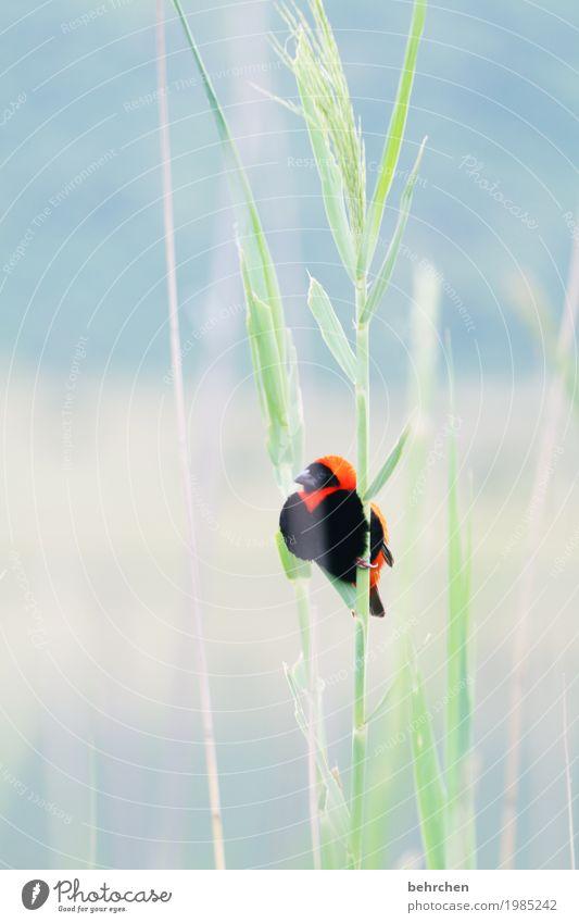 auch schilfbewohner;) Ferien & Urlaub & Reisen Tourismus Ausflug Abenteuer Ferne Freiheit Safari Natur Pflanze Tier Gras Südafrika Wildtier Vogel Tiergesicht