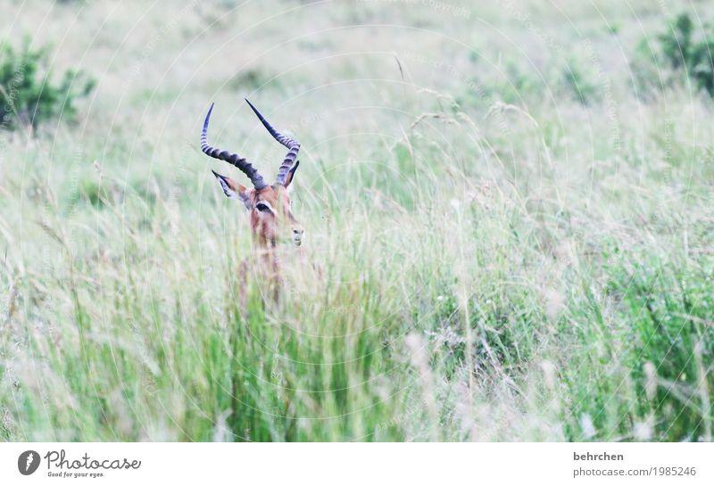 versteckt Ferien & Urlaub & Reisen Tourismus Ausflug Abenteuer Ferne Freiheit Safari Natur Pflanze Tier Gras Südafrika Wildtier Tiergesicht Fell impala Horn 1