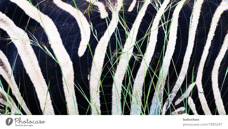 längsstreifen machen schlank! Ferien & Urlaub & Reisen Tourismus Ausflug Abenteuer Ferne Freiheit Safari Südafrika Wildtier Fell Zebra 1 Tier außergewöhnlich