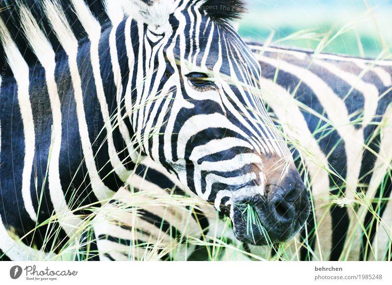 streifig Ferien & Urlaub & Reisen Tourismus Ausflug Abenteuer Ferne Freiheit Safari Natur Pflanze Tier Gras Wildtier Tiergesicht Fell Zebra 2 beobachten Fressen