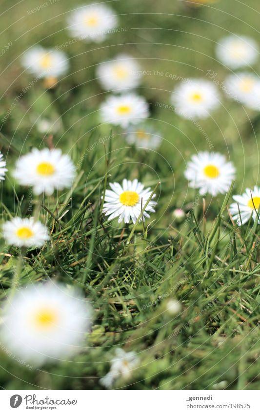 Anton Natur weiß Blume grün Pflanze Wiese Gefühle Blüte Gras Frühling Landschaft Umwelt gold Erde Hoffnung Fröhlichkeit