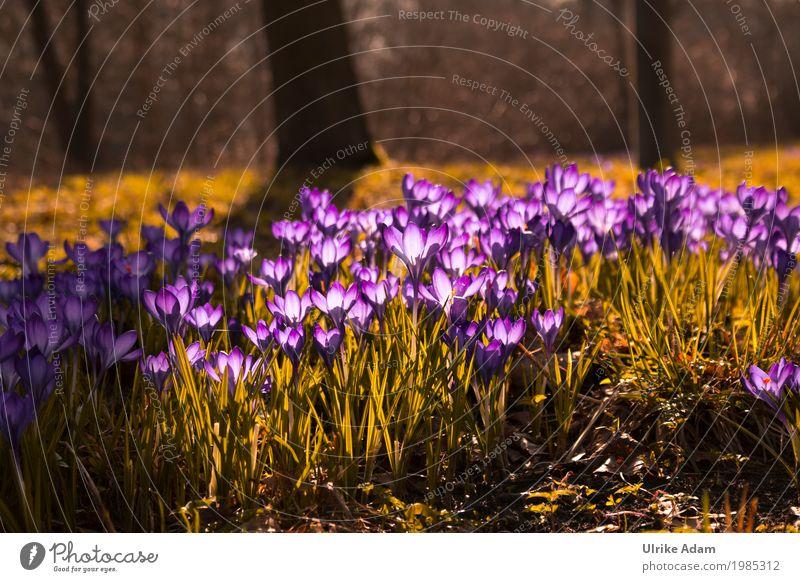 Lila Krokusse (Crocus) - Licht durchflutet Kunst Natur Pflanze Sonnenlicht Frühling Schönes Wetter Baum Blume Gras Blatt Blüte Wildpflanze Garten Park Wiese