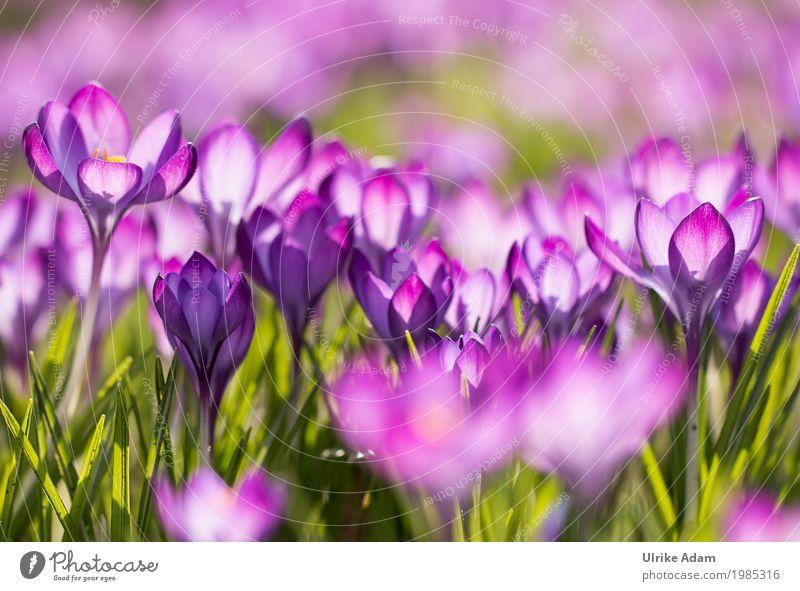 Lila Krokusse (Crocus) - Licht durchflutet Natur Pflanze schön grün Blume ruhig Wärme Blüte Frühling Innenarchitektur Garten Design hell Park Zufriedenheit