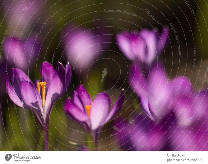 Lila Krokusse (Crocus) - Licht durchflutet Ostern Natur Pflanze Sonnenlicht Frühling Schönes Wetter Blume Blüte Wildpflanze Topfpflanze Blütenstempel Garten