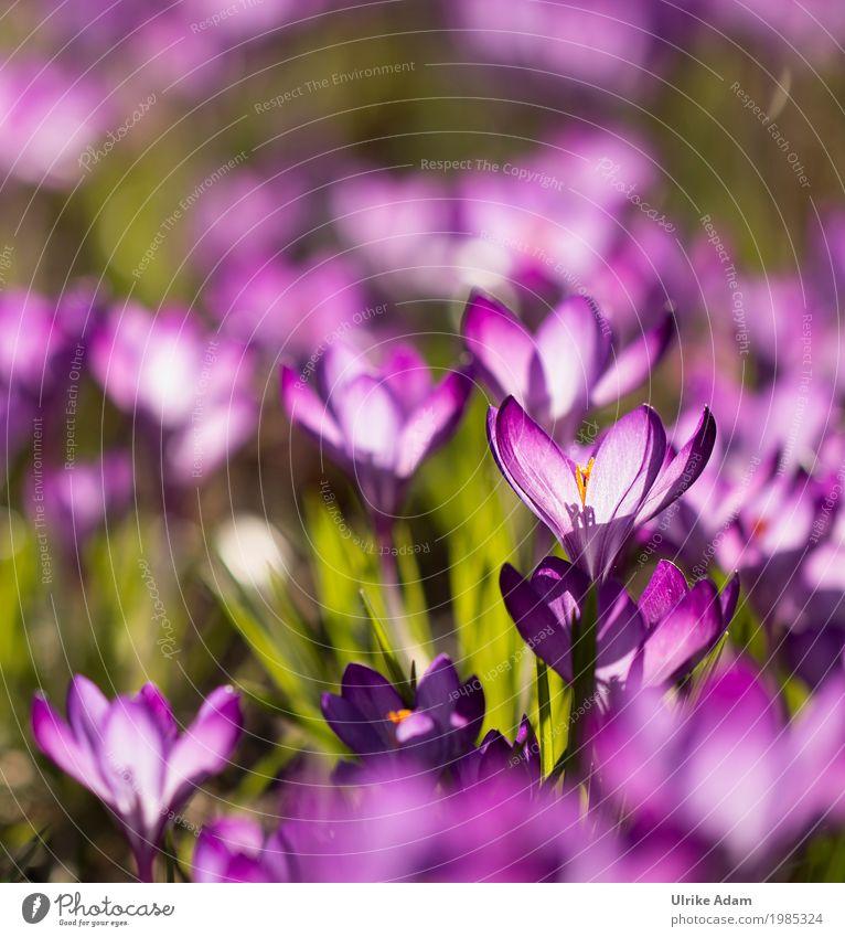Lila Krokusse (Crocus) - Licht durchflutet Stil Design einrichten Dekoration & Verzierung Tapete Bild Postkarte Ostern Natur Pflanze Sonnenlicht Frühling