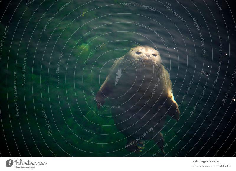 Seehundneugier Umwelt Natur Tier Urelemente Wasser Sommer Küste Nordsee Ostsee Meer Wildtier Tiergesicht Robbenbaby 1 Tierjunges Lächeln lachen Spielen