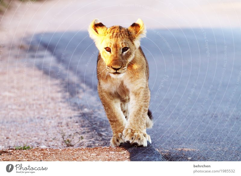 süß | noch!! Ferien & Urlaub & Reisen schön Tier Ferne Tierjunges Auge außergewöhnlich Freiheit Tourismus wild Ausflug Wildtier laufen fantastisch gefährlich