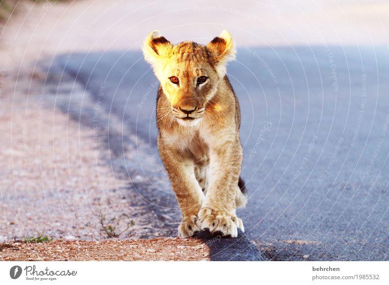süß | noch!! Ferien & Urlaub & Reisen Tourismus Ausflug Abenteuer Ferne Freiheit Safari Südafrika Wildtier Tiergesicht Fell Pfote Löwe Ohr Auge 1 Tierjunges