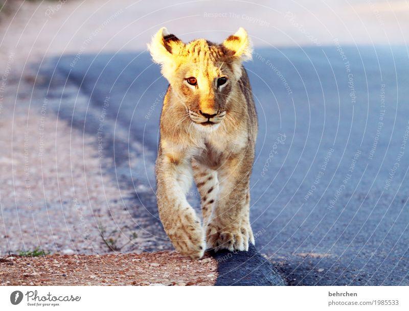 little king Ferien & Urlaub & Reisen Tourismus Ausflug Abenteuer Ferne Freiheit Safari addo elephant nationalpark Südafrika Wildtier Tiergesicht Fell Pfote Löwe