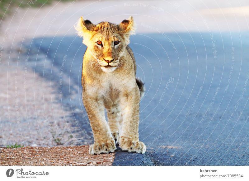 kleines kätzchen mit großen tätzchen Ferien & Urlaub & Reisen schön Tier Ferne Tierjunges außergewöhnlich Freiheit Tourismus wild Ausflug Wildtier fantastisch