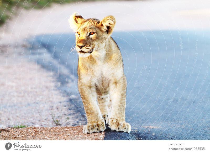 musik | katzengeschnurre Ferien & Urlaub & Reisen Tourismus Ausflug Abenteuer Ferne Freiheit Safari Südafrika Wildtier Tiergesicht Fell Pfote Löwe 1 Tierjunges