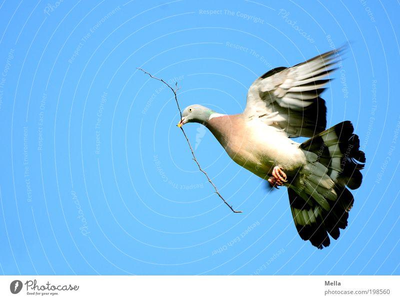 Peace! Umwelt Natur Tier Luft Himmel Wolkenloser Himmel Wildtier Vogel Taube Ringeltaube 1 Zeichen Friedenstaube fliegen tragen frei Unendlichkeit natürlich