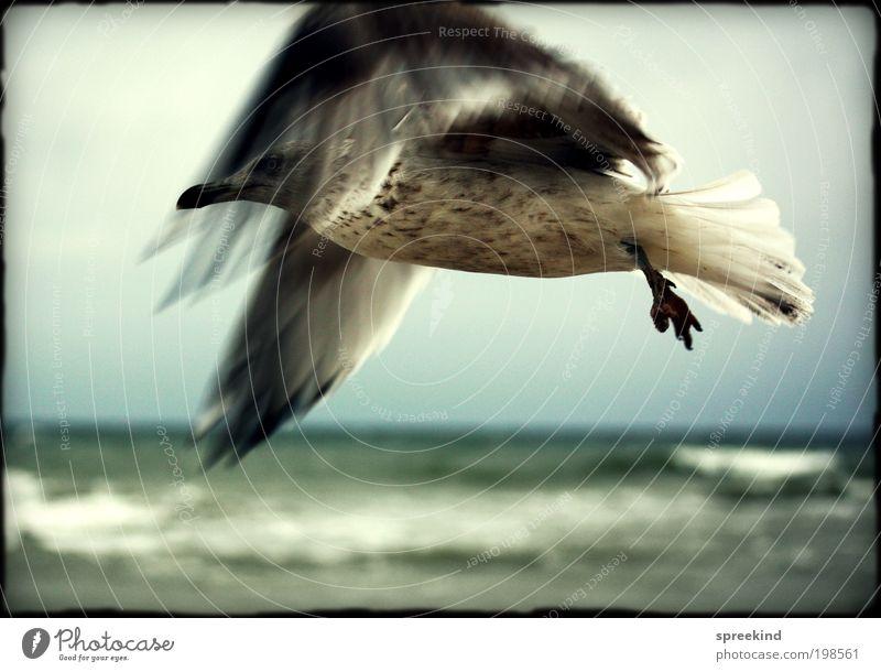 nearly Ferne Freiheit Meer Umwelt Luft Küste Ostsee Tier Wildtier Vogel Möwe 1 fliegen ästhetisch elegant frei wild Kraft Sehnsucht Fernweh Bewegung Leben Stolz
