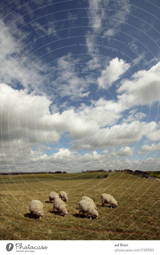Ich kriege nie genug Schaf! Himmel Natur Pflanze Tier Wolken Landschaft Ernährung Wiese Gras Park Feld laufen frei Tiergruppe Hügel