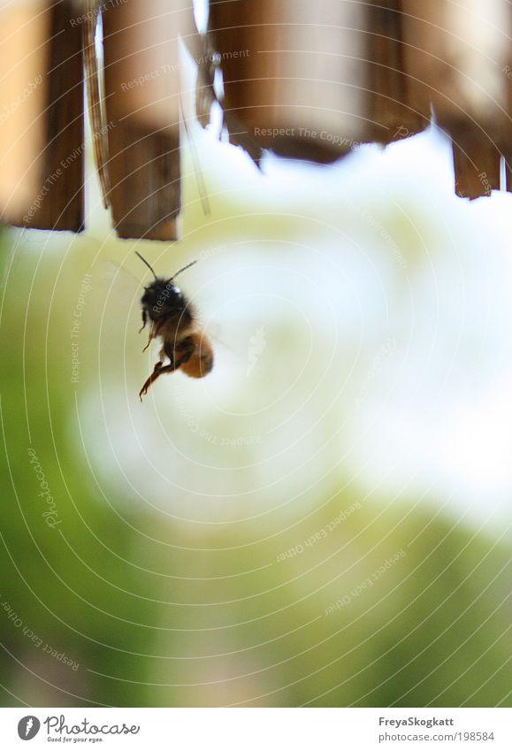 Ich suche mir ein Haus II Natur grün ruhig Tier gelb Leben Arbeit & Erwerbstätigkeit Umwelt Frühling klein Kraft fliegen wild Flügel Neugier Biene