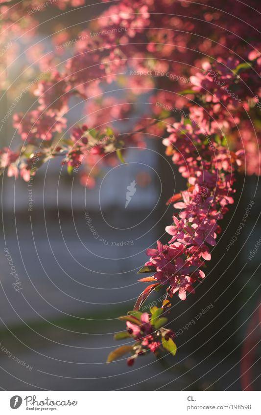 frühlingssonne Natur schön Baum Sonne Sommer Blatt Blüte Wärme Frühling rosa frisch natürlich leuchten Vergänglichkeit Warmherzigkeit Blühend