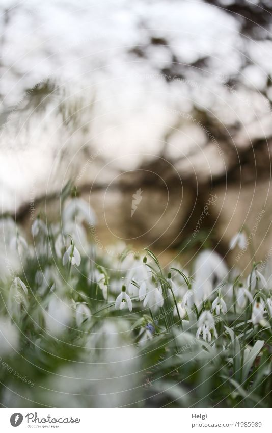Frühling im Park Umwelt Natur Landschaft Pflanze Schönes Wetter Blume Sträucher Schneeglöckchen Blühend leuchten stehen Wachstum schön klein natürlich braun