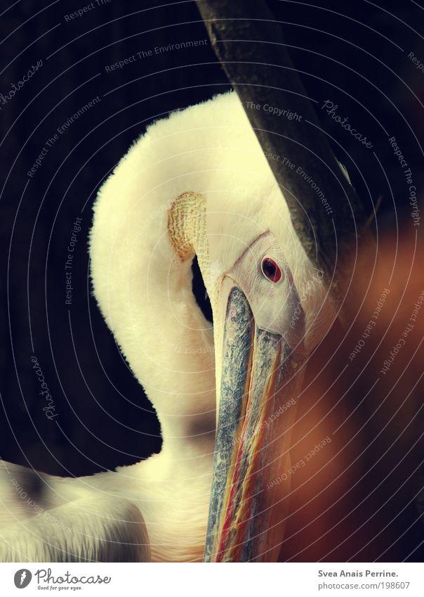 pelikan. Umwelt Natur Garten Park Tier Wildtier Zoo 1 beobachten glänzend Blick träumen Traurigkeit warten ästhetisch schön braun Gefühle Stimmung Vertrauen