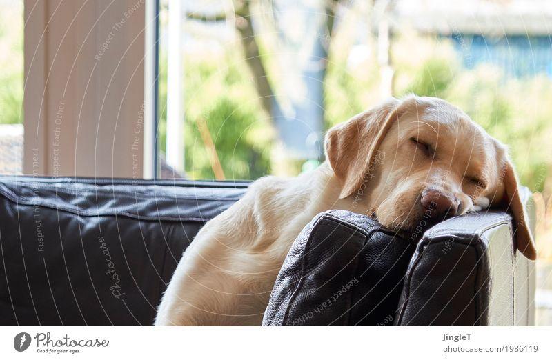 schwesta siesta Tier Haustier Hund Labrador 1 Erholung niedlich blau braun gelb gold grün schwarz weiß Vertrauen Warmherzigkeit friedlich Gelassenheit ruhig