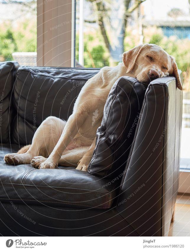 Ruhezone Tier Haustier Hund Labrador 1 schlafen kuschlig blau braun gelb gold grün schwarz weiß Gelassenheit Erholung Farbfoto Innenaufnahme Menschenleer