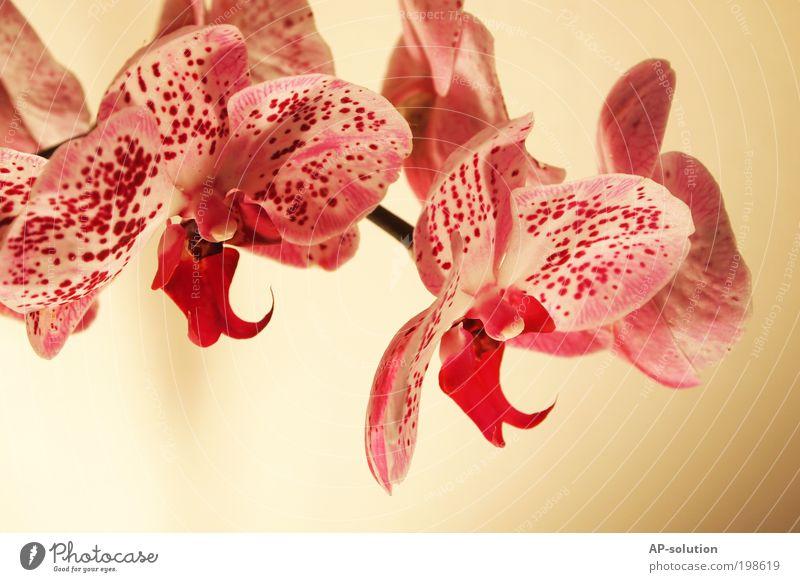 Orchidee *1 schön Kosmetik Wellness Duft Spa Wohnung Dekoration & Verzierung Valentinstag Muttertag Pflanze Blume Blüte Topfpflanze exotisch Blühend träumen