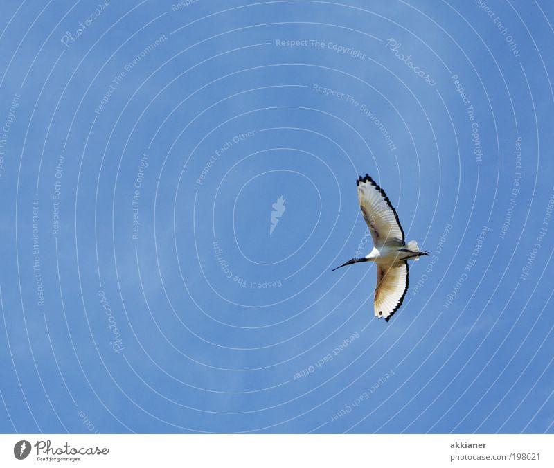 Auf nach Ibis(za) Umwelt Natur Tier Urelemente Luft Himmel Wolkenloser Himmel Sommer Klima Wetter Schönes Wetter Wärme Wildtier Vogel Flügel 1 hell blau schwarz