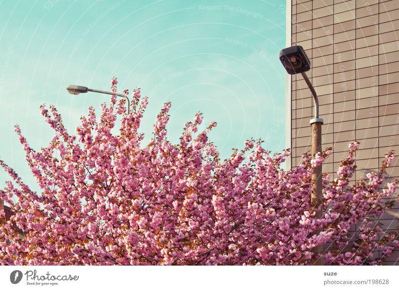 Voll im Lenz Himmel Natur schön Baum Pflanze Ferien & Urlaub & Reisen Wand Umwelt Blüte Frühling rosa Fassade Ordnung ästhetisch Wachstum Sträucher