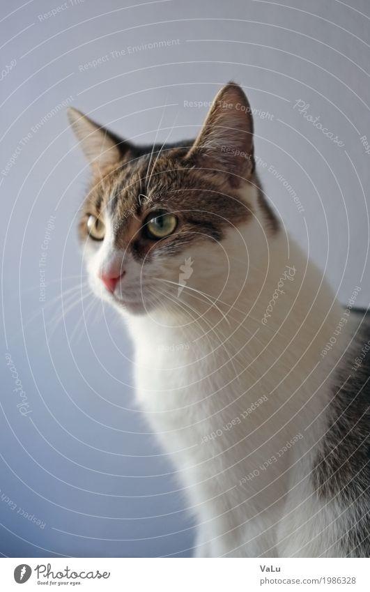 Miró Haustier Katze Tiergesicht Fell 1 niedlich braun violett weiß ruhig Hauskatze Farbfoto Innenaufnahme Textfreiraum links Textfreiraum oben