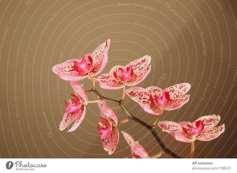 Orchidee *2 weiß schön Pflanze Blume ruhig Erholung Blüte träumen rosa ästhetisch Wachstum Wellness Kitsch Blühend Kosmetik Duft