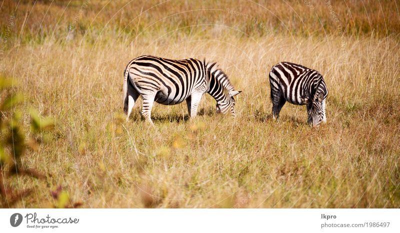 Wildreservat und wildes Zebra Natur Ferien & Urlaub & Reisen Pflanze weiß Tier Berge u. Gebirge schwarz natürlich Gras Spielen grau Park Haut stehen Abenteuer