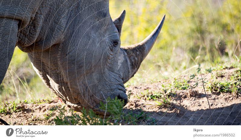 Naturschutzgebiet und wildes Nashorn Körper Haut Tourismus Safari Zoo Pflanze Tier Baum Gras Park groß stark grau schwarz weiß Tod gefährlich Afrika national