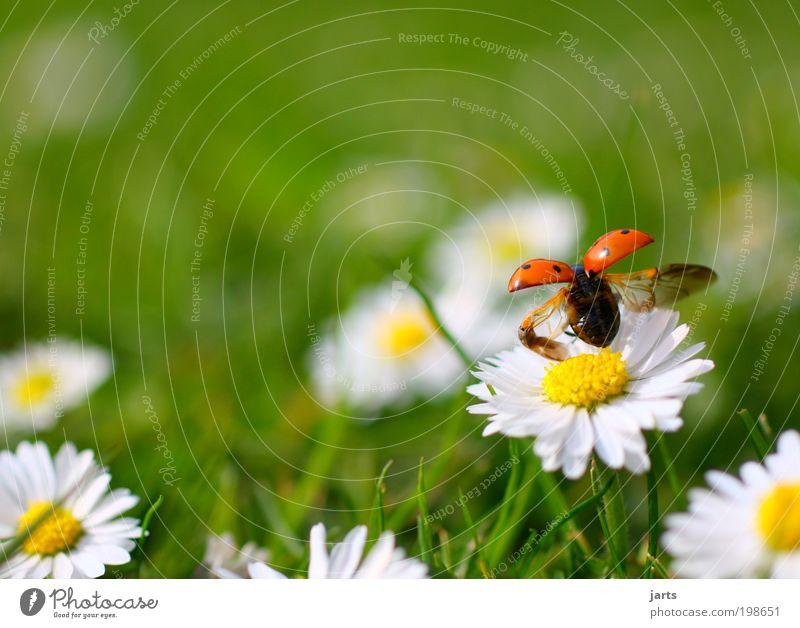 Mai Pflanze Tier Frühling Sommer Schönes Wetter Blume Gras Garten Park Wiese Wildtier Käfer 1 fliegen frei natürlich Lebensfreude Frühlingsgefühle Gelassenheit