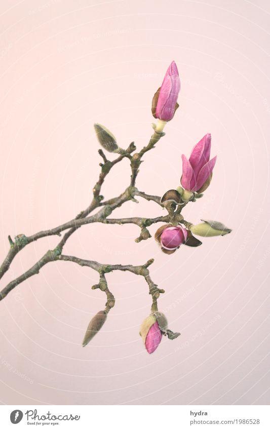 rosa Knopse einer Magnolie am Zweig vor rosa Hintergrund Magnolienblüte Blüte Magnoliengewächse Trauer harmonisch Baum Sträucher Blütenknospen Blühend schön