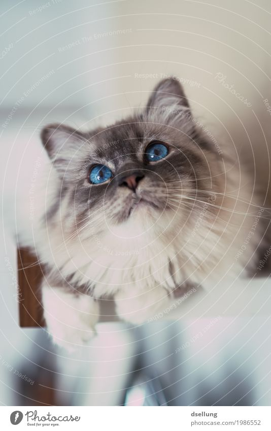 beobachter. Katze blau schön weiß Erholung Tier leuchten glänzend liegen elegant ästhetisch Perspektive Abenteuer beobachten niedlich Neugier