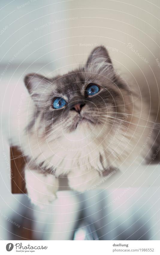 beobachter. Tier Haustier Katze Heilige Birma 1 beobachten Erholung leuchten liegen Blick ästhetisch elegant frech glänzend schön listig Neugier niedlich blau