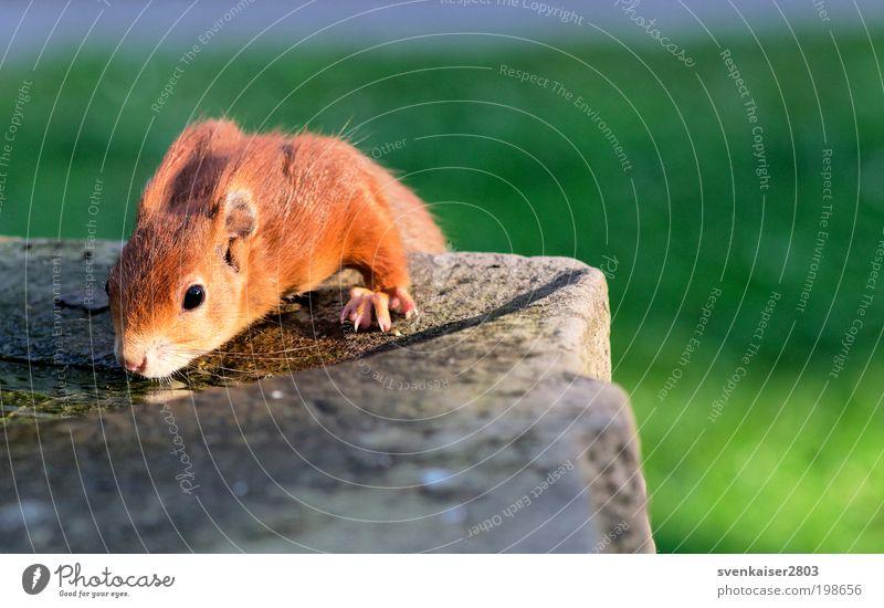Knopfauge Natur Tier Wasser Sonnenlicht Frühling Park Wildtier Tiergesicht Fell Krallen Pfote Eichhörnchen 1 hocken liegen trinken nah niedlich braun ruhig