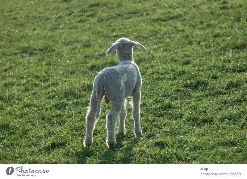 Mamasucher Frühling Wiese Tier Nutztier Schaf Lamm Lämmchen 1 Tierjunges Angst Suche suchend Trennung Einsamkeit hilflos Hilfsbedürftig Farbfoto Außenaufnahme