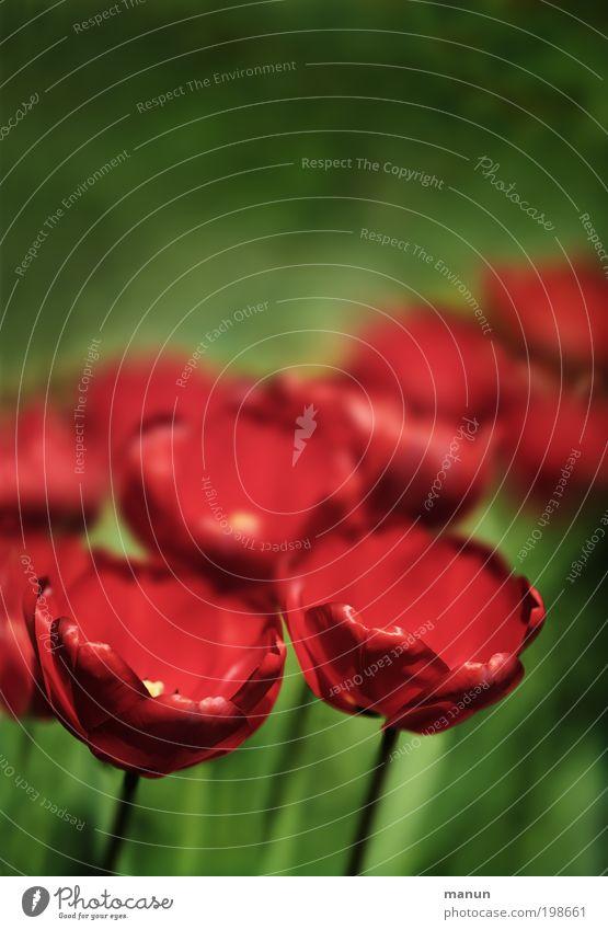 tulips Natur grün Erholung rot Frühling Blüte außergewöhnlich Garten Design elegant ästhetisch fantastisch Lebensfreude Blühend Romantik Wohlgefühl