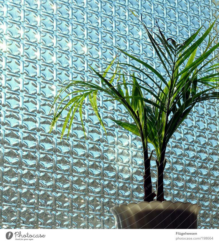 Sonnenanbeter Pflanze Fenster einfach Schönes Wetter Fensterscheibe Blumentopf Grünpflanze Zimmerpflanze Topfpflanze durchleuchtet Fensterplatz Fensterdekoration