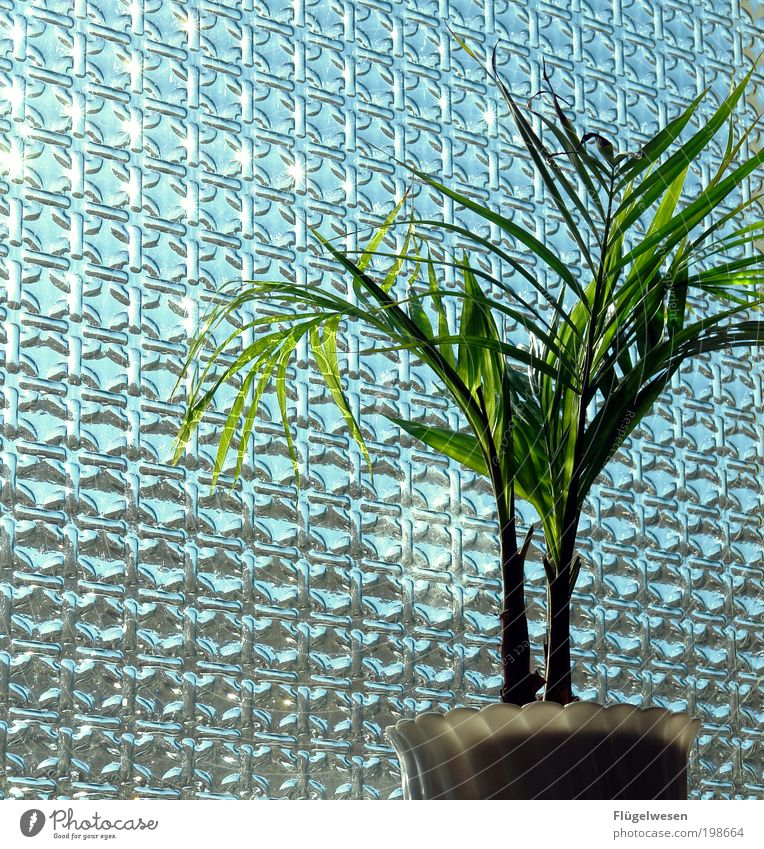Sonnenanbeter Pflanze Fenster einfach Schönes Wetter Fensterscheibe Blumentopf Grünpflanze Zimmerpflanze Topfpflanze durchleuchtet Fensterplatz