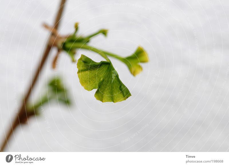 Ginkgo Umwelt Natur Pflanze Frühling Blatt Nutzpflanze natürlich grün Umweltschutz Wachstum Ginkgoblatt wachsen Fächer fächerförmig Leben Zierpflanze Trieb