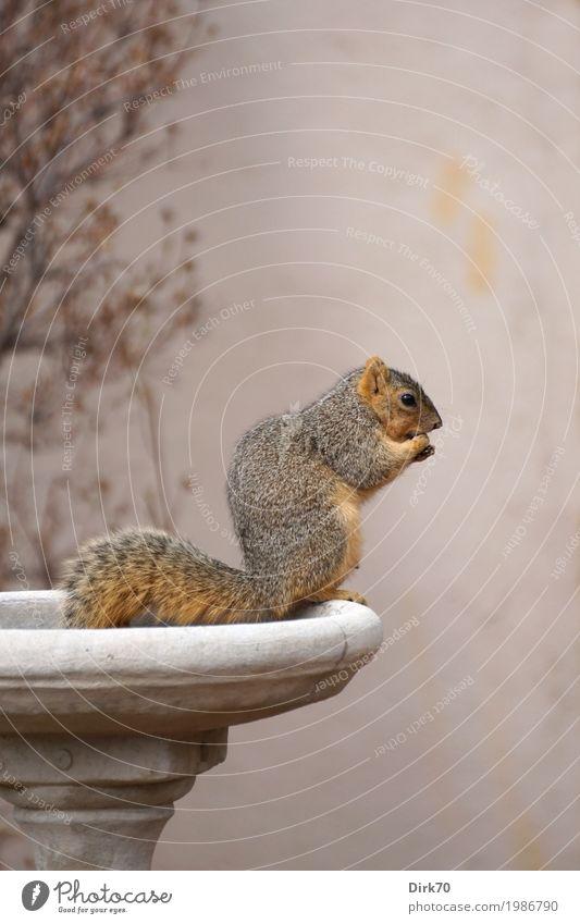 Eichhörnchen-Studie I: Fressen ... Umwelt Tier Frühling Garten Park Boulder Colorado USA Stadtrand Mauer Wand Vase Ziervase Blumenschale Dekoration & Verzierung