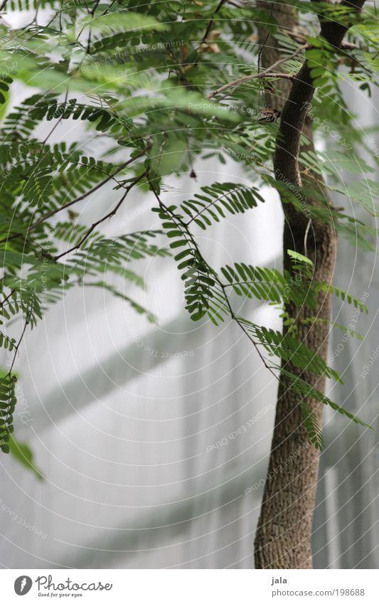 zartes grün [LUsertreffen 04|10] Natur Pflanze Baum Blatt Grünpflanze Wildpflanze Garten ästhetisch elegant exotisch weiß Baumstamm Ast Mimose Mimosenzweig