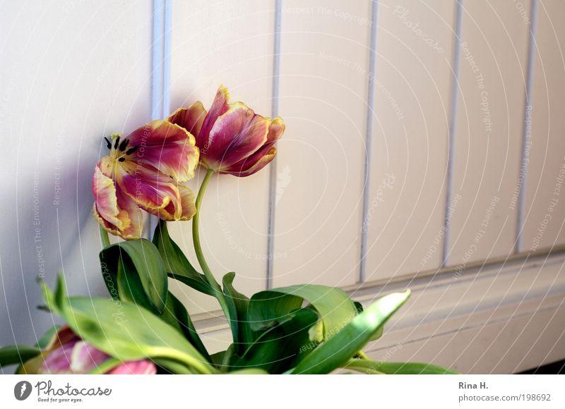 Vor die Tür gesetzt... Lifestyle Stil Blume Tulpe Blüte alt verblüht warten authentisch gelb rot Gefühle Wahrheit ästhetisch elegant Ende Verfall