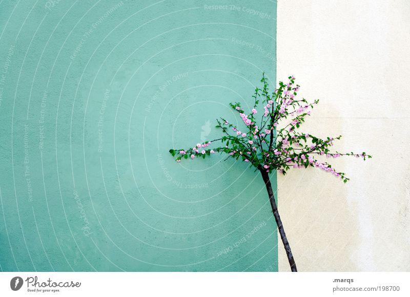 Maibaum weiß grün schön Baum Pflanze Einsamkeit Farbe Wand klein Mauer rosa Fassade frisch ästhetisch Wachstum Vergänglichkeit