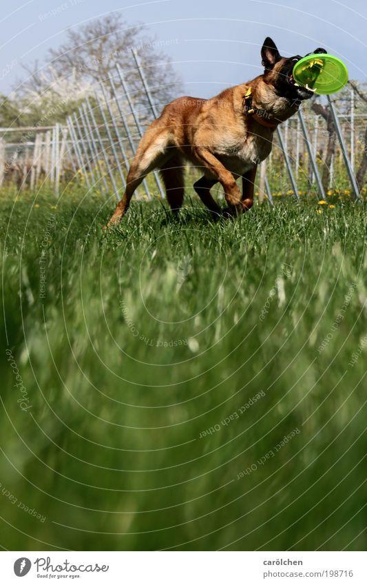 mit Biss Tier Haustier Hund 1 Bewegung fangen sportlich braun grün Kraft Willensstärke Mut Tatkraft Leidenschaft Wachsamkeit Freude Frisbee Hundesport Wiese