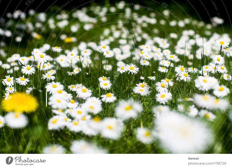 Gänseblümchen-Meer Natur weiß Blume grün Pflanze Sommer gelb Leben Gras Frühling Garten Umwelt Wachstum Blühend Duft viele
